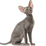 Imagenes caracteristicas y hechos de las razas mixtas de gatos