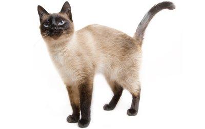 Informacion sobre la raza de gato siames comportamiento imagenes y