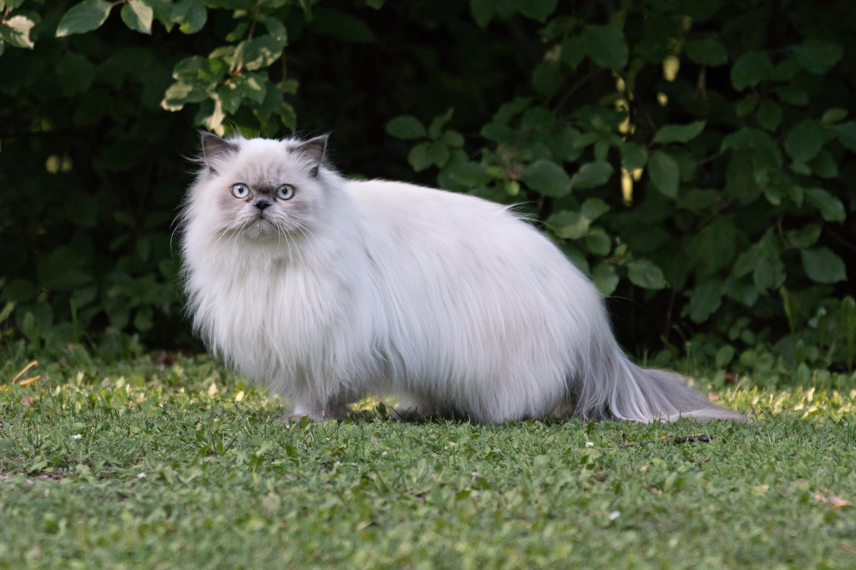 Gatos y gatitos persas