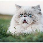 1617050892 Los mejores nombres para gatos persas Mis Gatos y