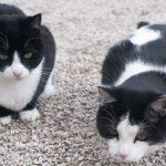 1617066266 Nombres de gatos de esmoquin en blanco y negro