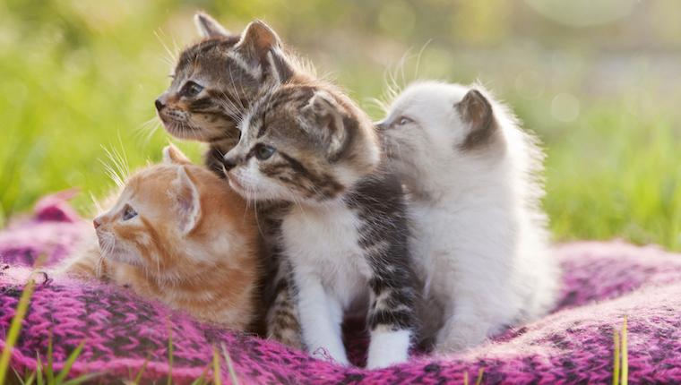 Gatitos en manta