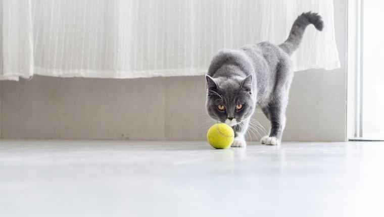 Gato y pelota de tenis
